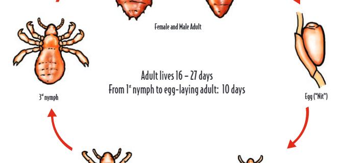 lice-life-cycle
